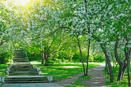 Beautiful blooming white apple and fruit trees in colorful vivid spring park full of early light with first sun rays, fairy heart of nature