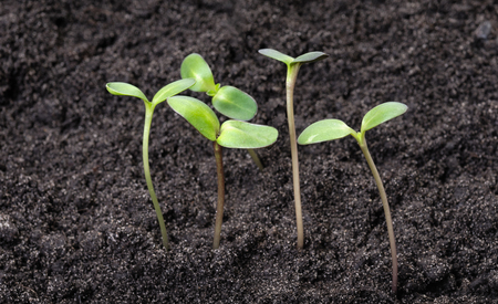 Small young green sprouts in the soil. New life concept Фото со стока