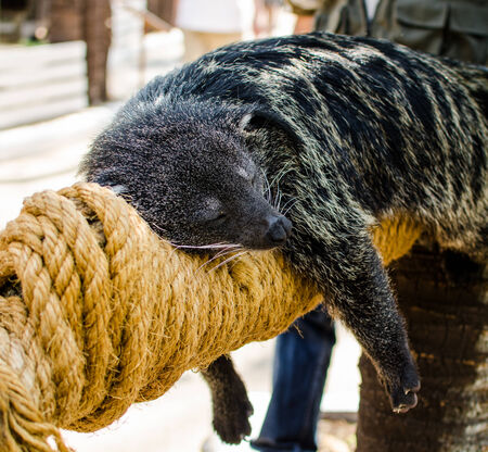 bearcat: bearcat sleeping on the timber wrapped with rope