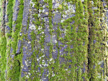 tree detail: Moss on a tree bark