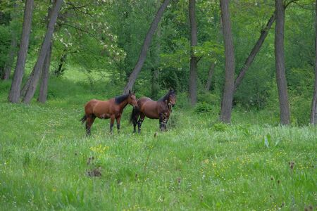 natural force: Wild horses in forest. Stock Photo