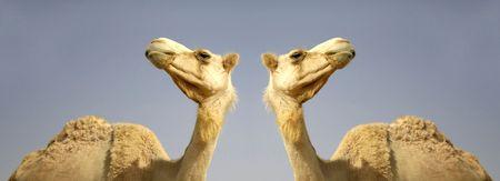 camel in sede boker desert, israel photo