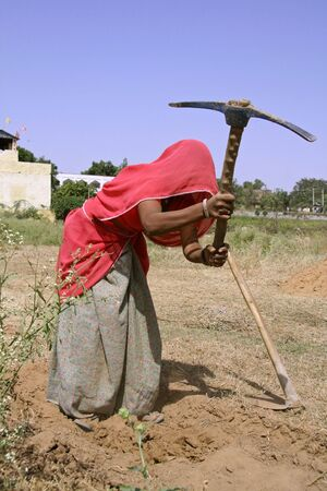 hard working woman: village woman working in field, rajasthan, india