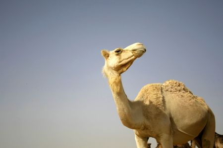 camel in sede boker desert, israel Stock Photo - 3917140