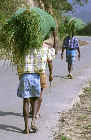 south india: indian workers carrying grassload, south india