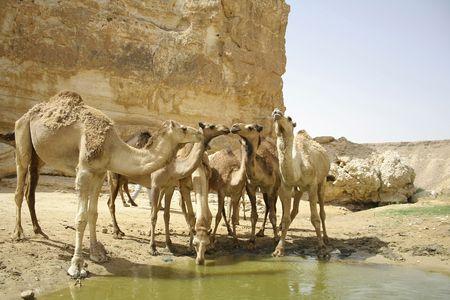 camels drinking in sede boker desert, israel photo