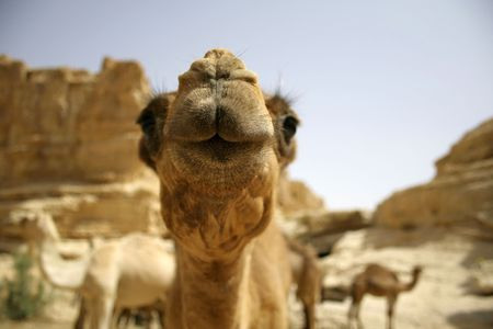 camel in sede boker desert, israel Stock Photo - 3917163