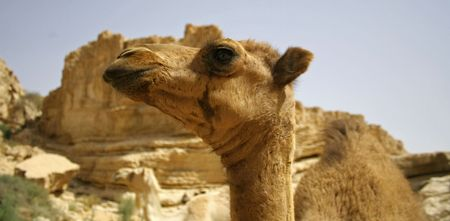 camel in sede boker desert, israel Stock Photo - 3917122