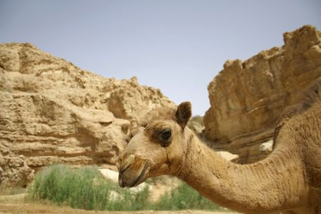 camel in sede boker desert, israel Stock Photo - 3917343