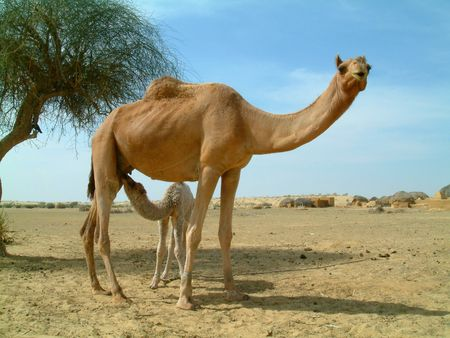 camel mother and baby photo