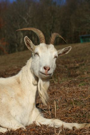 billy goat: wise goat meditating Stock Photo