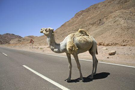 arabe: de camellos en la regi�n del Mar Rojo, el Sina�, Egipto Foto de archivo
