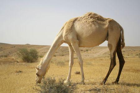 camel in desert, israel Stock Photo - 4182878