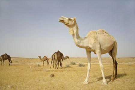 camel in sede boker desert, israel Stock Photo - 3929737