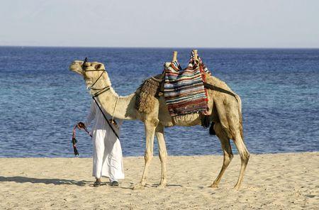 �rabe: de camellos en la regi�n del Mar Rojo, el Sina�, Egipto Foto de archivo