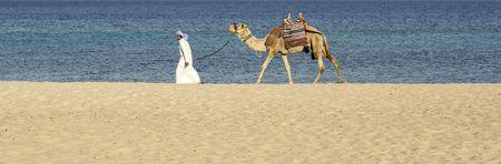 arabe: de camellos en la regi�n del Mar Rojo, Sina�, Egipto