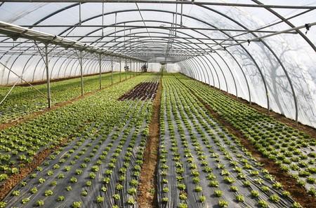invernadero: Lechuga que crecen en las l�neas de pl�stico verde en la casa Foto de archivo