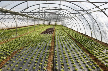 Lettuce growing in lines in plastic green house Stock Photo