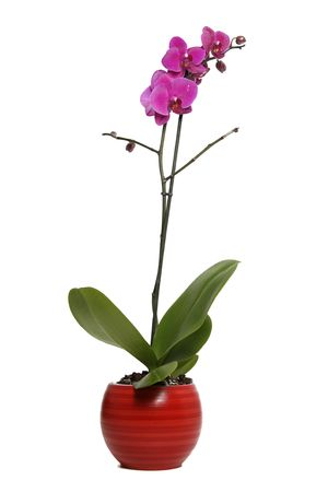 Purple orchids in red flower pot on white background photo