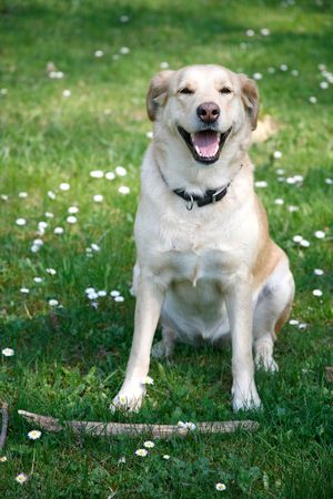 trained: Young female labrador sitting with stick in the spring grass and flowers