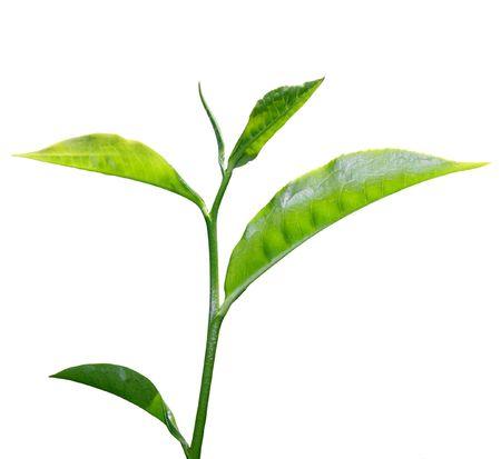 verse groene thee blad geïsoleerd op witte achtergrond Stockfoto