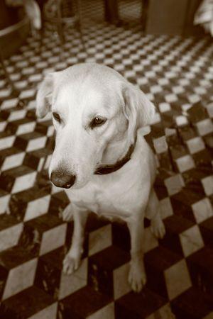Female labrador dog sitting on checkered floor restaurant in paris, france photo