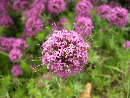 spheric: Pink spheric Crucianella stylosa in foreground on green lush background