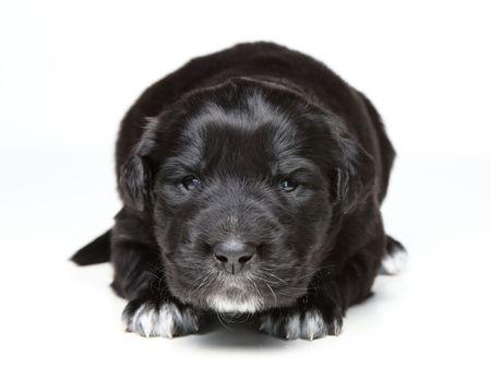 small black puppy yawning on isolated on white background Stock Photo - 6466322