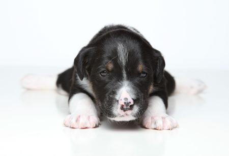 Little black and white puppy posing for the camera on white isolated background photo