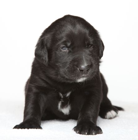 Little black puppy sitting in studio on white isolated background photo