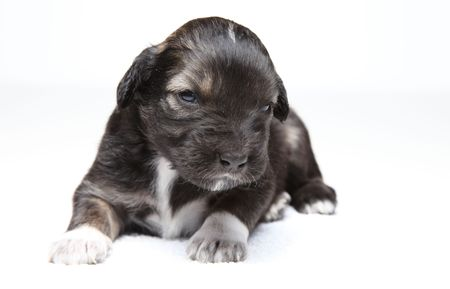 Little brown and white puppy staring at camera in studio on white isolated background photo