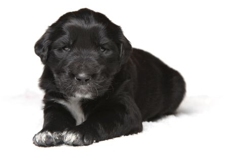 small black puppy isolated on white background photo