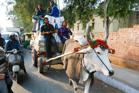 DELHI - JANUARY 19: Cow pulling a cart on January 19, 2008 in Delhi, India.