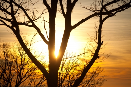 savana: Sunsetting through trees creating silhouette on orange background