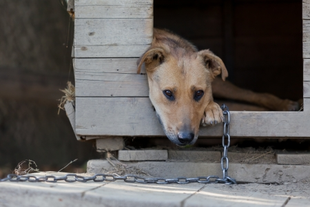 Chained up dog laying in wooden kennel with head out waiting to be released photo