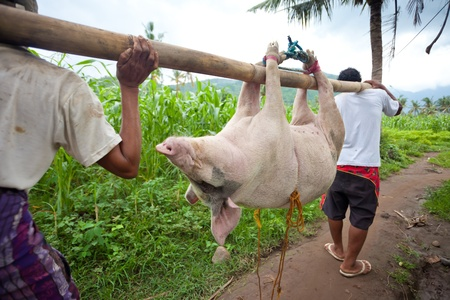celebratation: BALI - JANUARY 30. Men carry pig for slaughter for Galungan ceremony on January 30, 2012 in Bali, Indonesia. Traditionally, men get up before dawn to slaughter the pig.