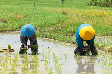 BALI - FEBRUARY 15. Rice farmers planting stalk crop in their paddy field on February 15, 2012 in Bali, Indonesia. Balis fertile volcanic soil has made rice a central dietary staple.