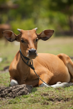 Young brown cow calf sitting in meadow in Bali, Indonesia photo