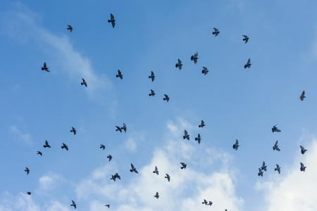 migrated: Many pigeons flying in the sky with some white clouds in background