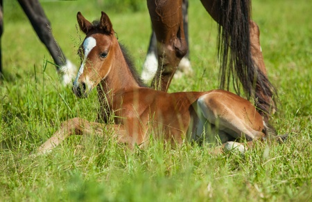 Young foal laying in grass at the feet of her mother photo