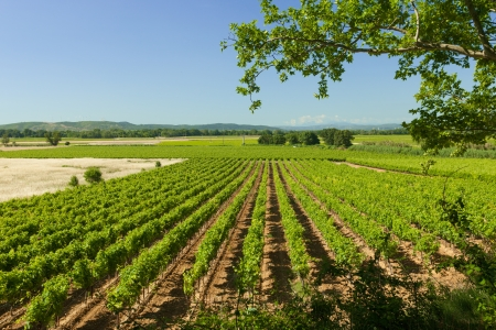 Lines of vineyard agriculture landscape in France