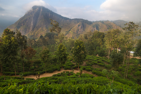 hill station tree: Stunning view on famous tea plantation and countryside in Ella, Sri Lanka.