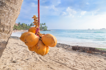 Cluster of king coconut hanging from palm tree with beautiful sandy beach in background. Stock Photo