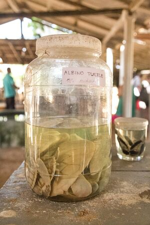 hatchery: HABARADUWA, SRI LANKA - MARCH 11, 2014: Albino turtles in glass jar at Sea Turtle Farm and Hatchery. The center was started in 1986 and up to now they released more than 500,000 Turtles to ocean Editorial