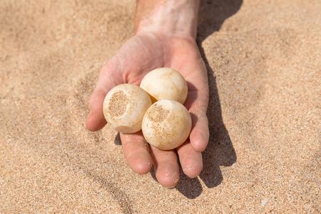 hatchery: Mans hand holding three turtle eggs at Sea Turtle Farm and Hatchery in Sri Lanka.