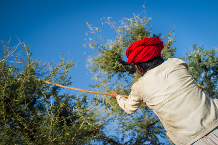 gujarat: GODWAR REGION, INDIA - 13 FEBRUARY 2015: Rabari tribesman holds traditional axe and cuts branches from tree to feed herd. Rabari or Rewari are an Indian community in the state of Gujarat.
