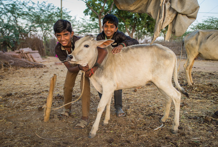 tiedup: GODWAR REGION, INDIA - 12 FEBRUARY 2015: Two boys from Rabari tribe and calf. Loss of tradition gains pace from every new generation. Rabari or Rewari are an Indian community in the state of Gujarat.