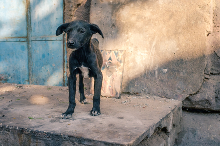 stray dog: Skinny puppy on street with picture of holy person in background. Indias streets are full of stray dogs all ages.