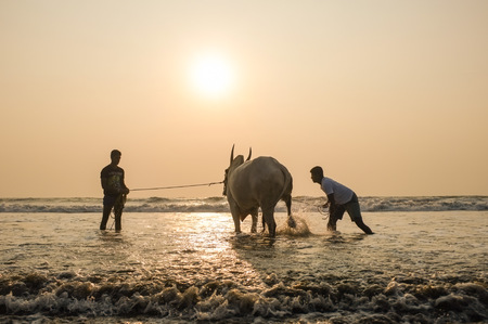 GOA, INDIA - JANUARY 23, 2015: Two men holding and splashing cow in the sea at sunset. Editorial