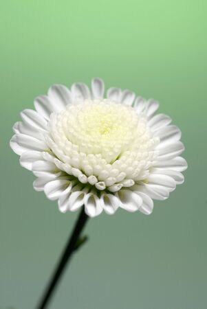 dasiy: White dasiy with a green background